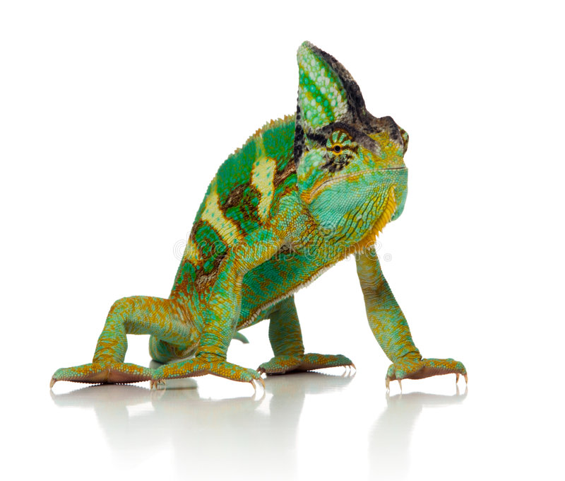Kameleon stock fotografie