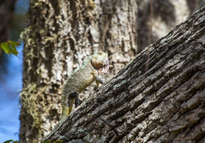 Kameleon, Chamaeleo zeylanicus zdjęcie royalty free