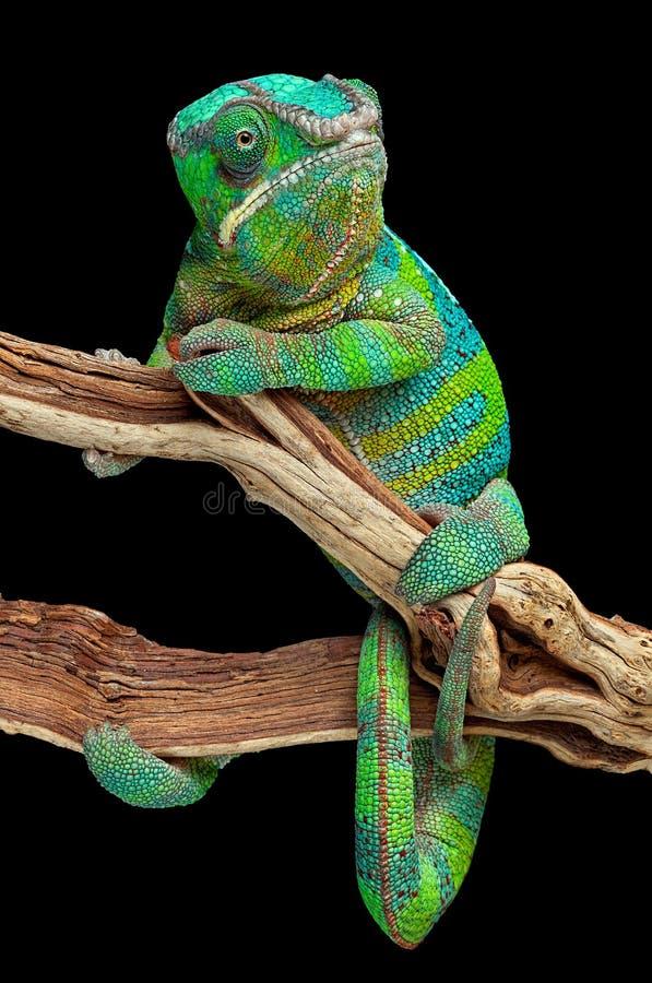 Kameleon dat rond tak wordt verpakt royalty-vrije stock foto's