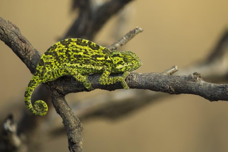 Kameleon die tak in boom beklimmen royalty-vrije stock foto's