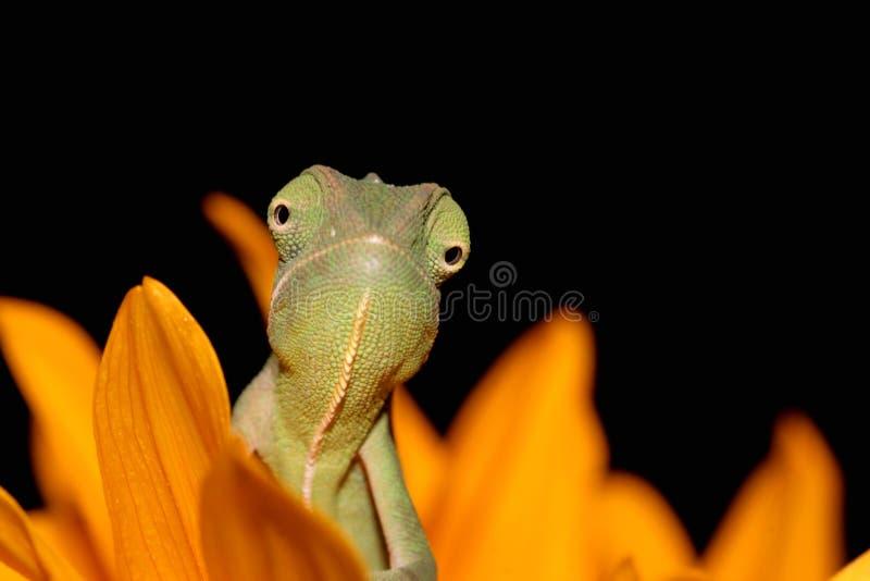 Kameleon en zonnebloem stock foto