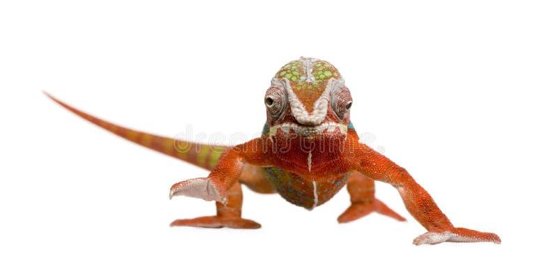 Kameleon Furcifer Pardalis - Ambilobe (18 maanden) royalty-vrije stock afbeeldingen