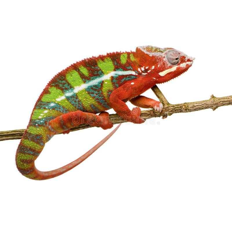 Kameleon Furcifer Pardalis - Ambilobe (18 maanden) royalty-vrije stock afbeelding