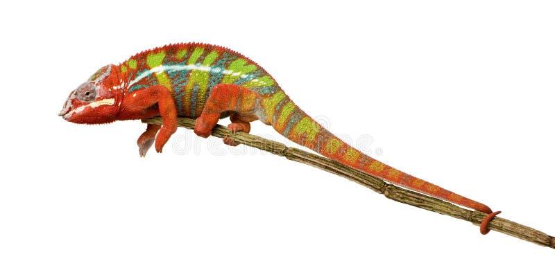 Kameleon Furcifer Pardalis - Ambilobe (18 maanden) stock foto's