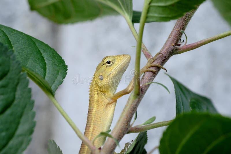 Kameleon na drzewie obraz stock