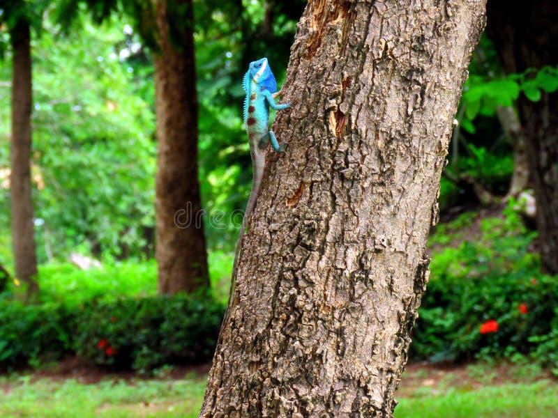 Kameleon na drzewie zdjęcie stock