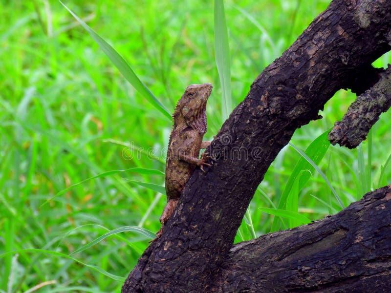 Kameleon na drzewie fotografia royalty free