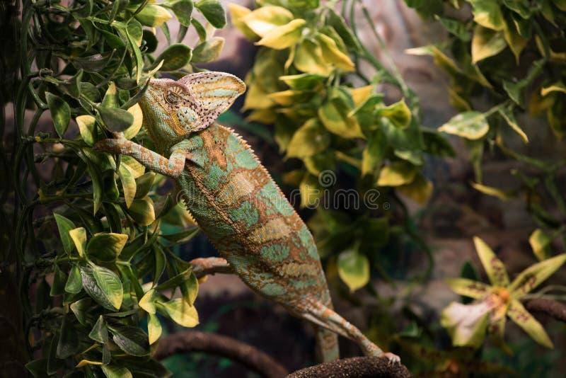 Kameleon odpoczywa na gałąź wśród liści, zakończenie up zdjęcie royalty free