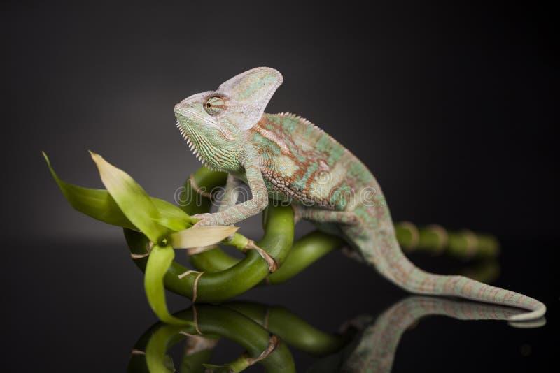 Kameleon op bamboe op een zwarte achtergrond royalty-vrije stock fotografie