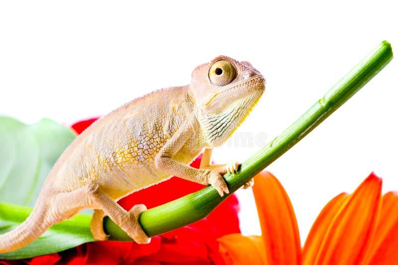 Download Kameleon op bloem stock foto. Afbeelding bestaande uit geïsoleerd - 10779276