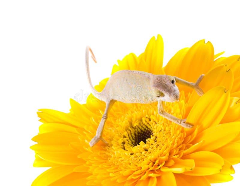 Download Kameleon op bloem stock afbeelding. Afbeelding bestaande uit gebeurtenissen - 10779281