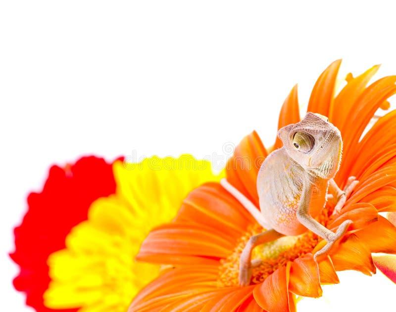 Download Kameleon op bloem stock afbeelding. Afbeelding bestaande uit pigment - 10779285
