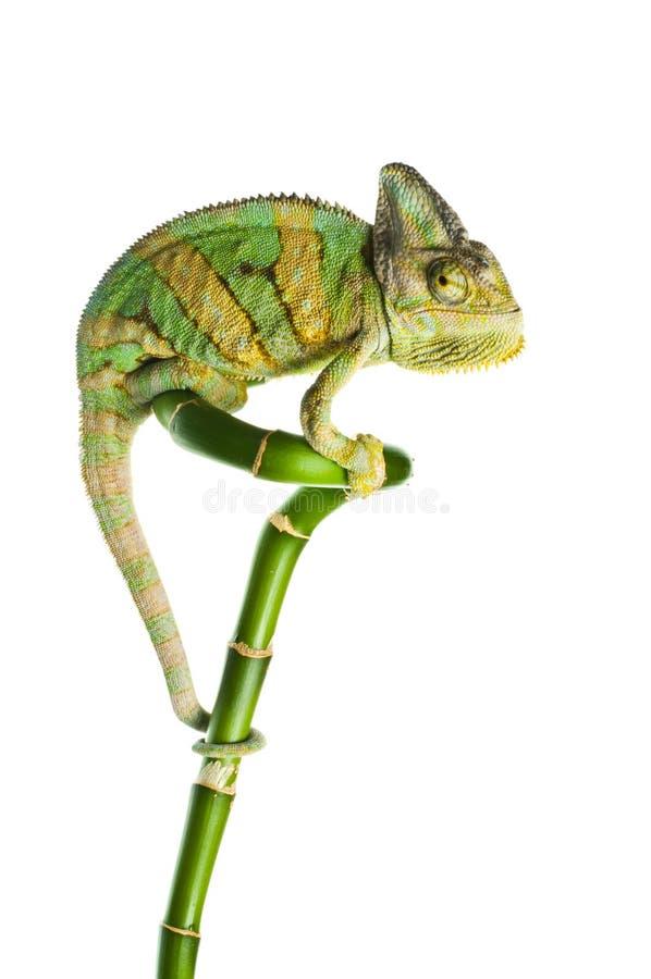 Kameleon op een bamboe stock afbeeldingen