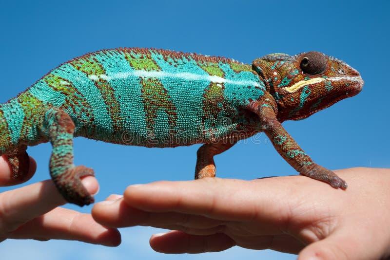 Kameleon op een hand royalty-vrije stock fotografie