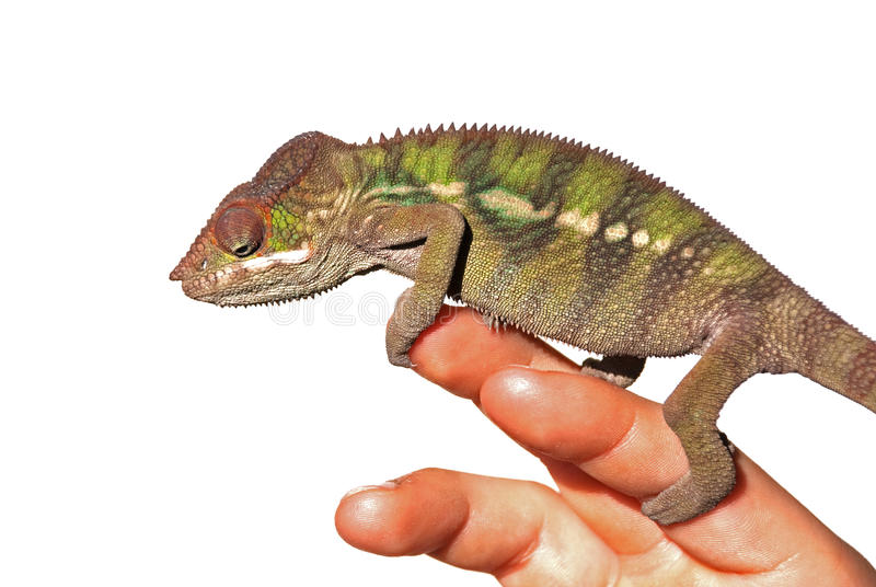 Kameleon op een hand stock foto