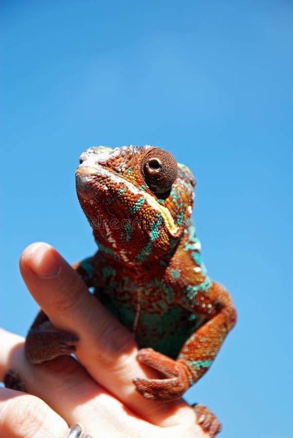 Kameleon op een hand royalty-vrije stock afbeelding