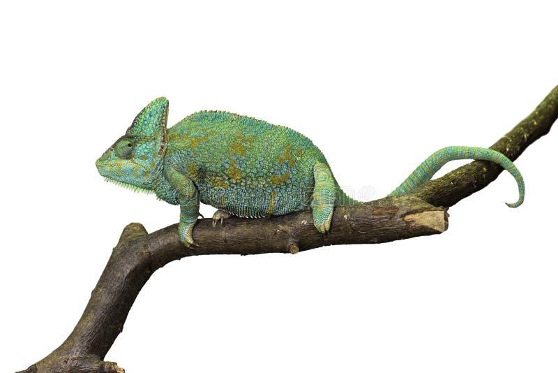 Kameleon op wit royalty-vrije stock foto