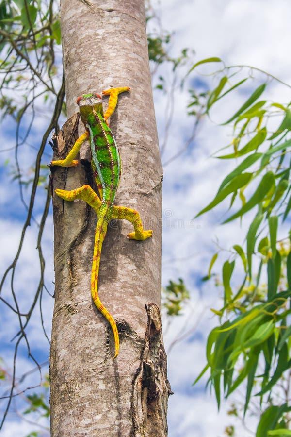 kameleon pantera zdjęcie stock