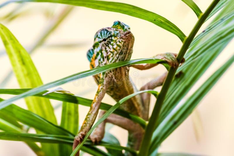 kameleon pantera fotografia royalty free