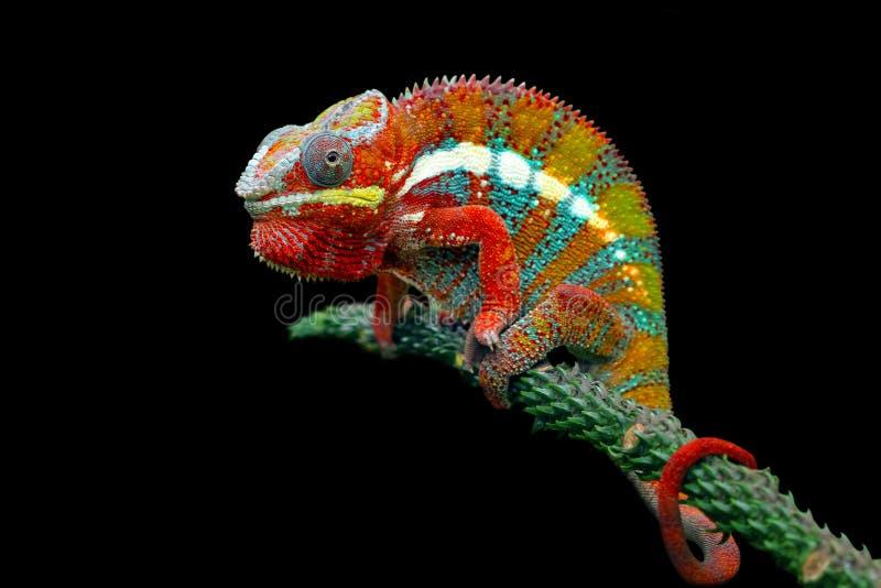 Kameleon pantera na gałąź z czarnym tłem obrazy stock