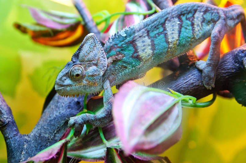 Kameleon siedzi na gałąź i adaptuje barwiący środowisko zdjęcia stock