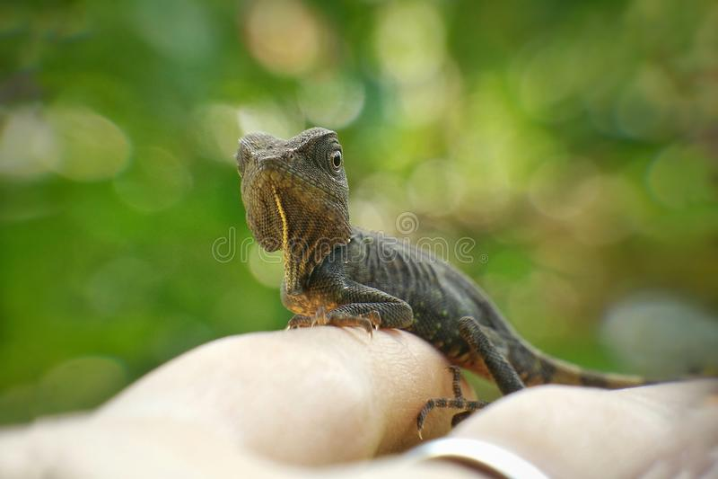 kameleon w ręce zdjęcie stock