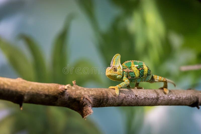 Kameleon w zoo: W górę obrazka kameleonu pięcie na gałąź fotografia royalty free