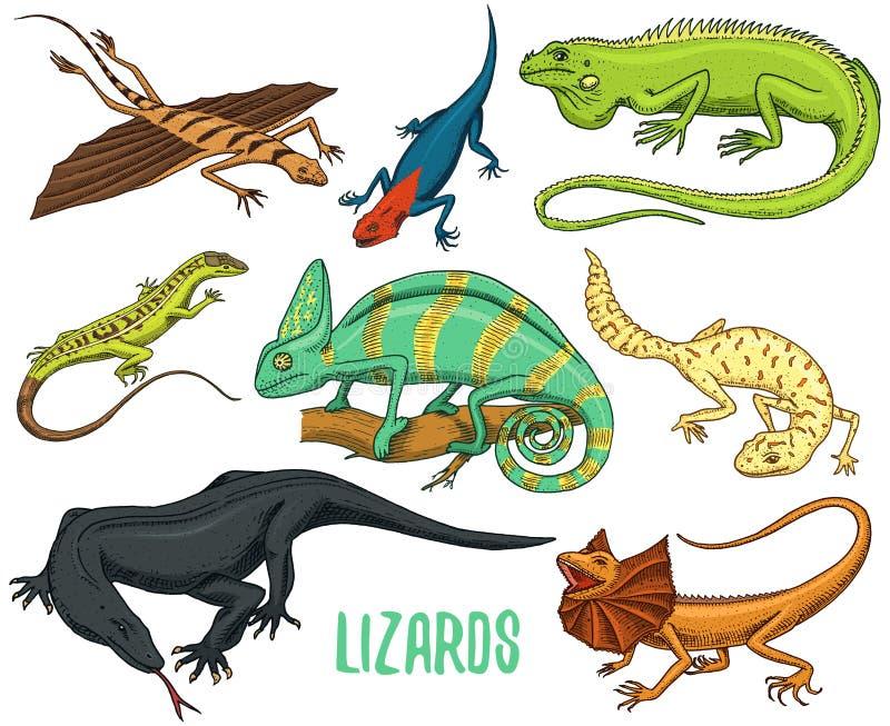 Kameleontödla, grön leguan, bildskärm för Komodo drake, amerikansk sand, exotiska reptilar eller ormar, fett-tailed prickigt stock illustrationer