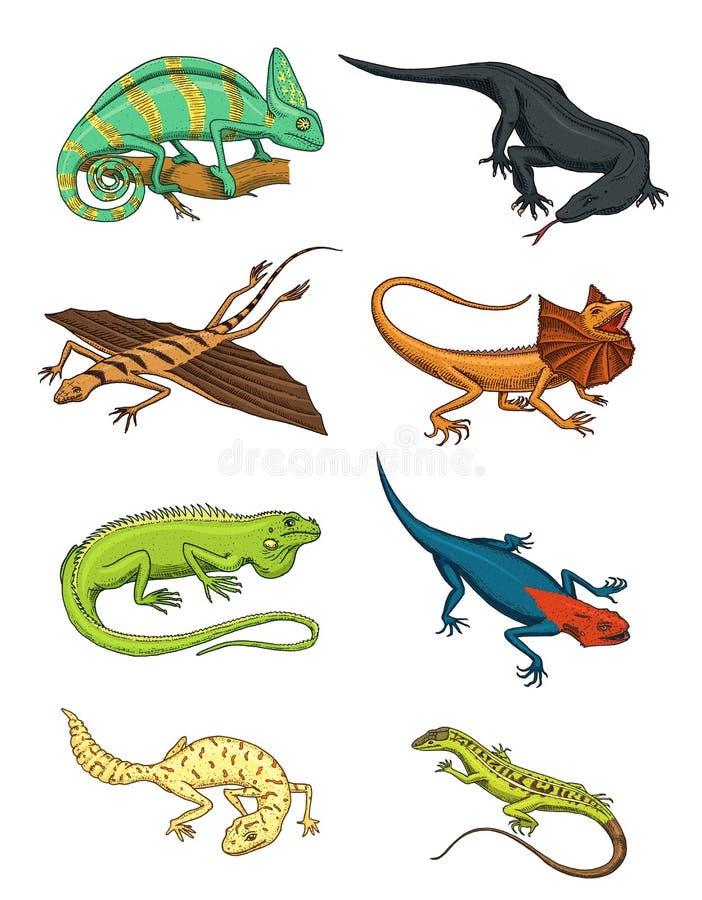 Kameleontödla, grön leguan, bildskärm för Komodo drake, amerikansk sand, exotiska reptilar eller ormar, fett-tailed prickigt vektor illustrationer