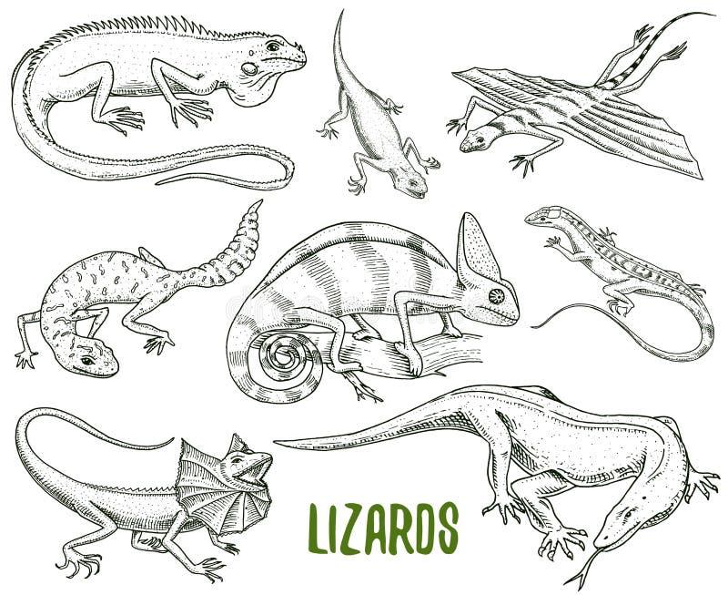 Kameleontödla, grön leguan, bildskärm för Komodo drake, amerikansk sand, exotiska reptilar eller ormar, fett-tailed prickigt royaltyfri illustrationer