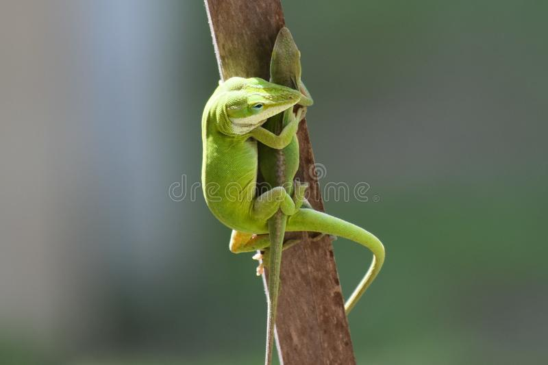 Kameleontödlor royaltyfria bilder