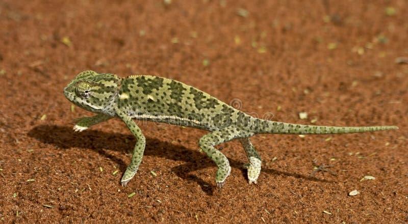 kameleont royaltyfri bild