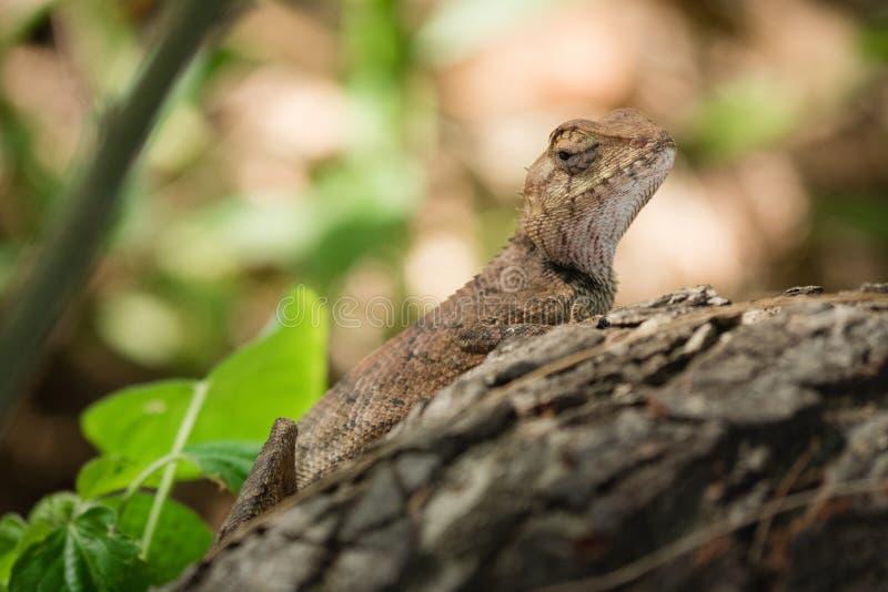 Kameleont i grund fokus arkivfoto