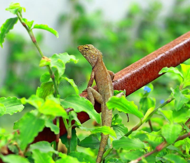 Kameleont i Thailand royaltyfria foton