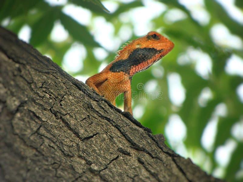 Kameleont på ett träd royaltyfri bild