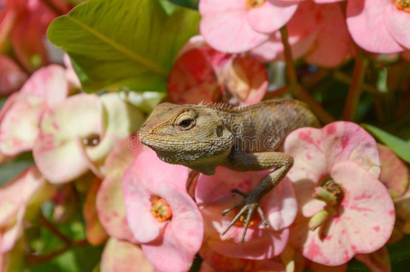 Kameleont på rosa färgblomman royaltyfri foto
