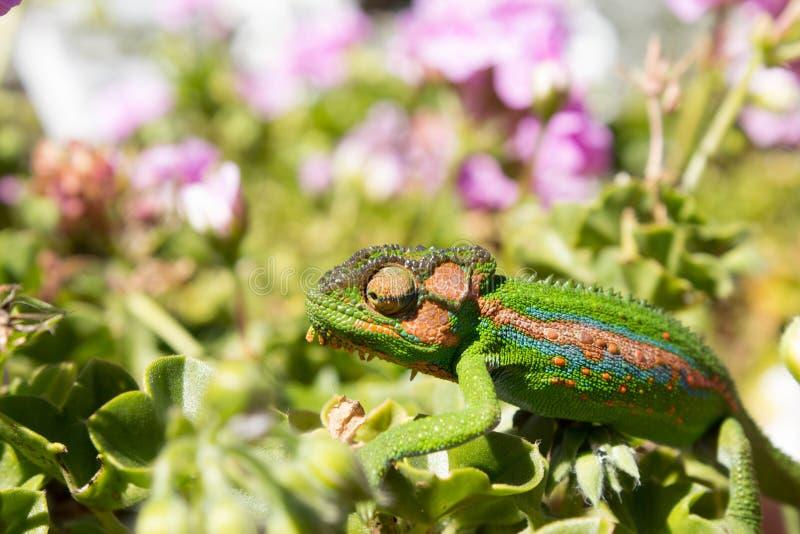 Kameleont som går över sidor och kronblad royaltyfri foto