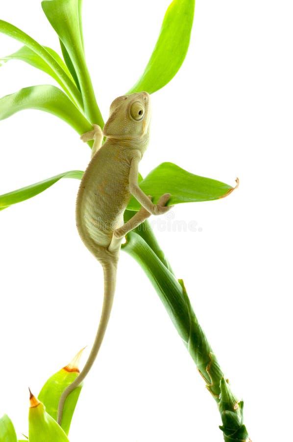 kameleontblomma royaltyfri fotografi