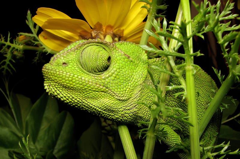 kameleontblomma royaltyfria foton