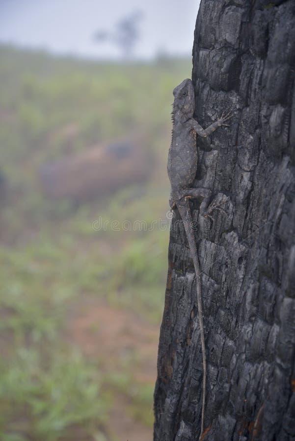 Kameleonter ändrar färg på bränd del 13 för trädstammen arkivbilder