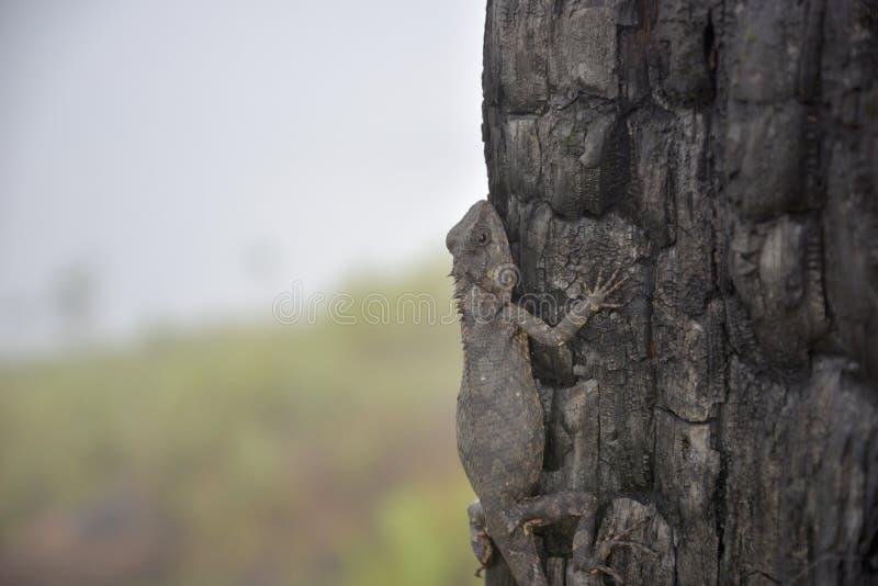 Kameleonter ändrar färg på bränd del 11 för trädstammen arkivbild