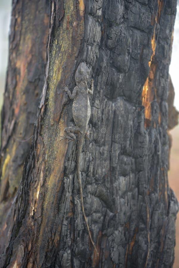 Kameleonter ändrar färg på bränd del 6 för trädstammen royaltyfria bilder