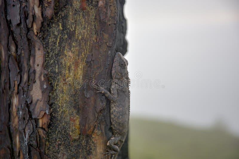 Kameleonter ändrar färg på bränd del 4 för trädstammen fotografering för bildbyråer
