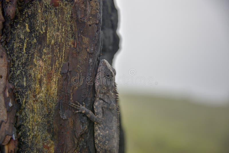 Kameleonter ändrar färg på bränd del 3 för trädstammen arkivbilder
