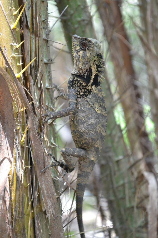 Kameleonter kryper mellan taggar av salacaträd arkivfoton