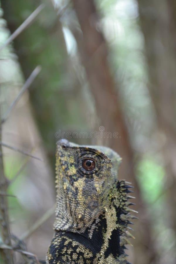 Kameleonter kryper mellan taggar av salacaträd royaltyfria bilder