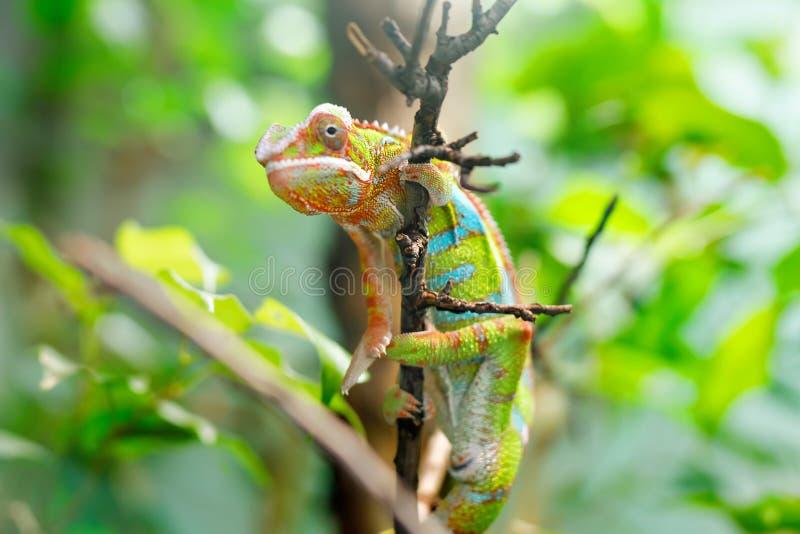 KameleontFurcifer pardalis Ambilobe, panterkameleontjon ett träd arkivbilder