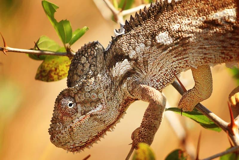 Kameleontnärbild royaltyfri foto