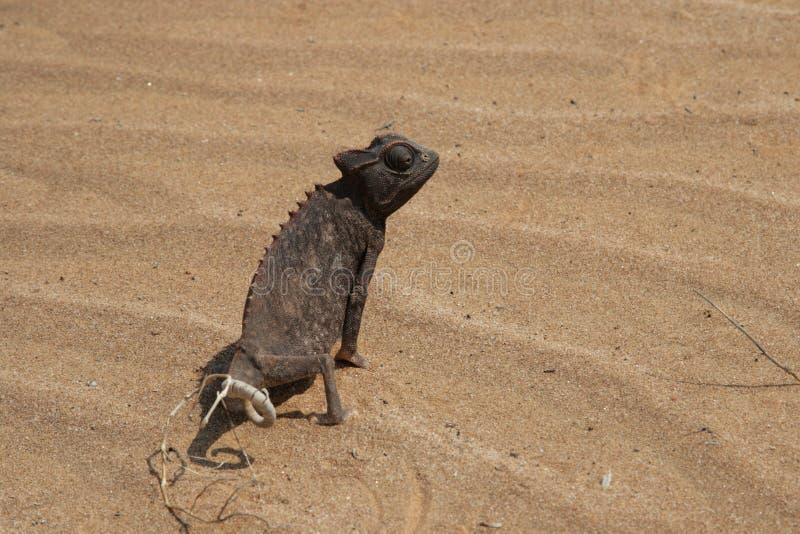 kameleontnamaqua arkivbilder