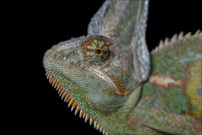 Kameleontprofilstående royaltyfria bilder